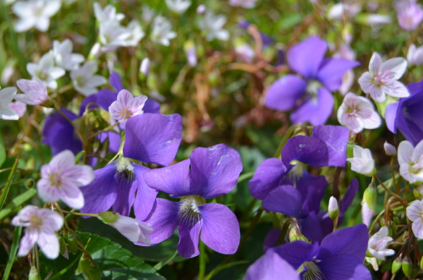 violets and spring beauties